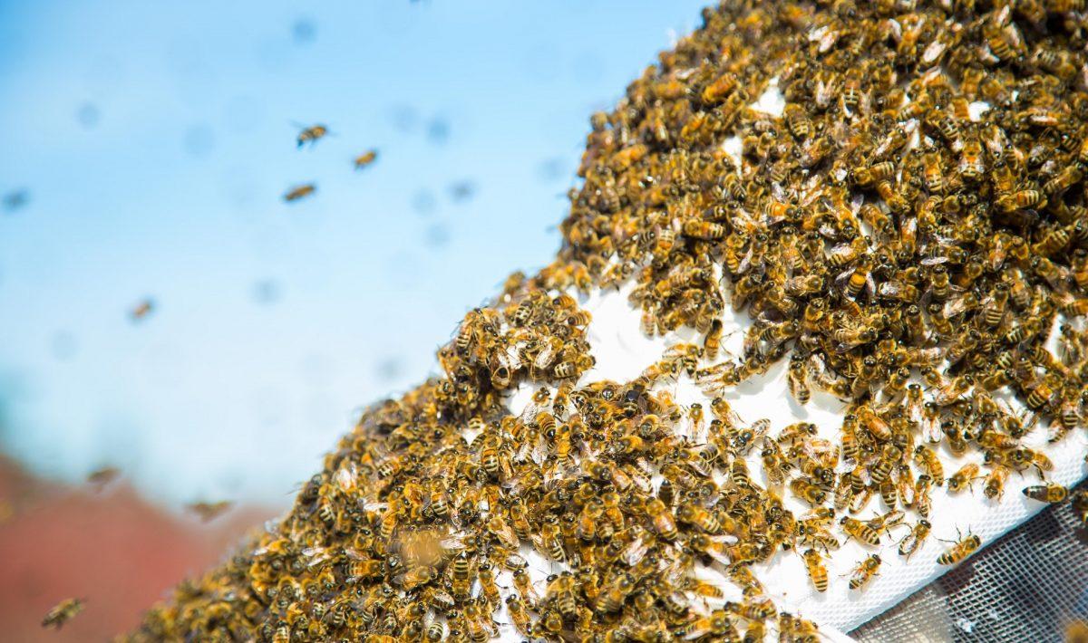 honey-bee-colony