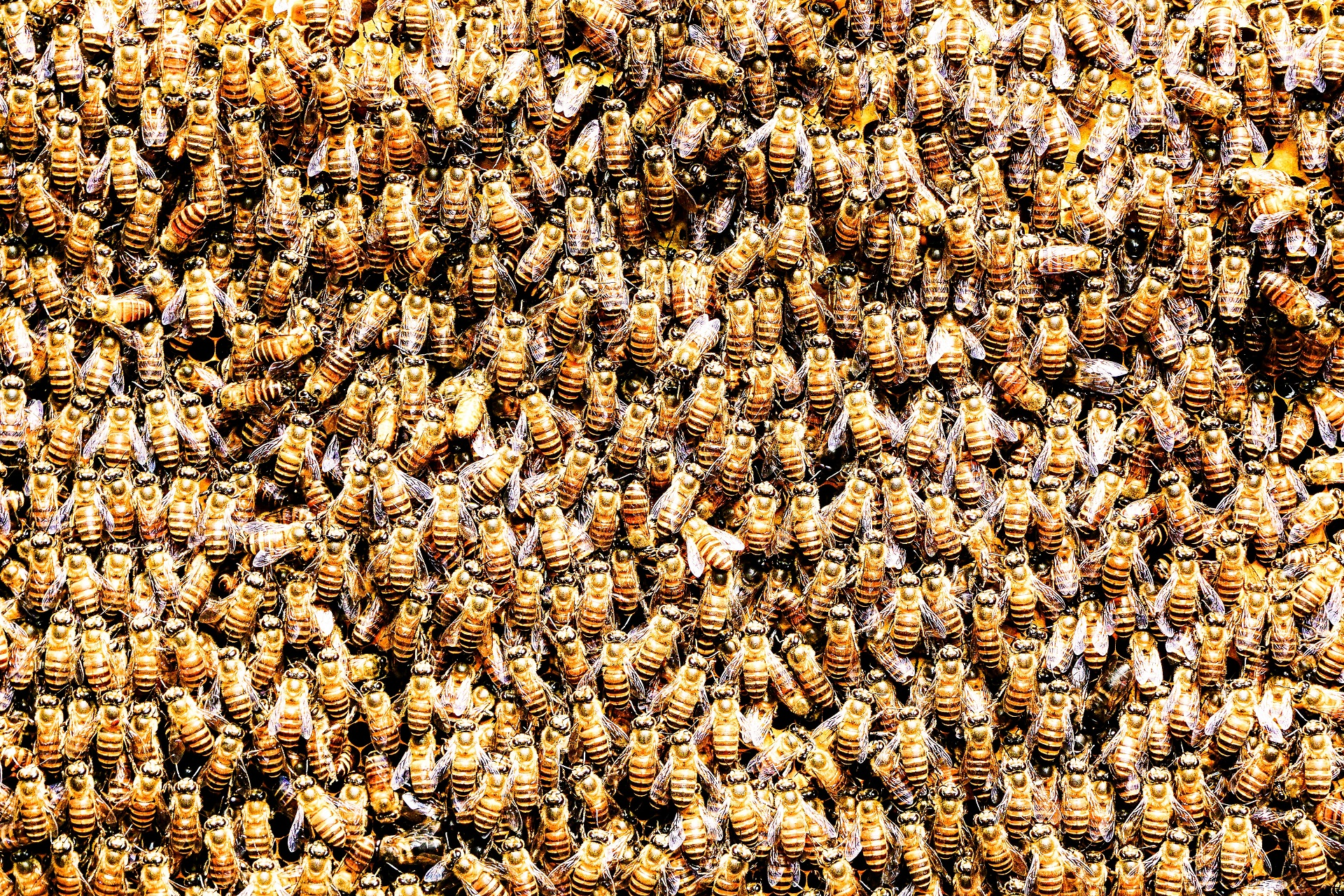 honey bees in a hive featured
