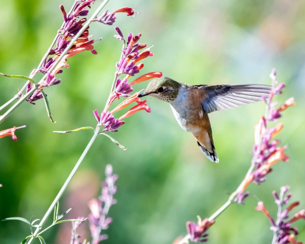 close up photo of hummingbird near flowers