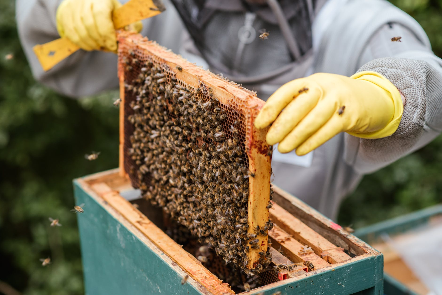 crop farmer taking honeycomb from beehive