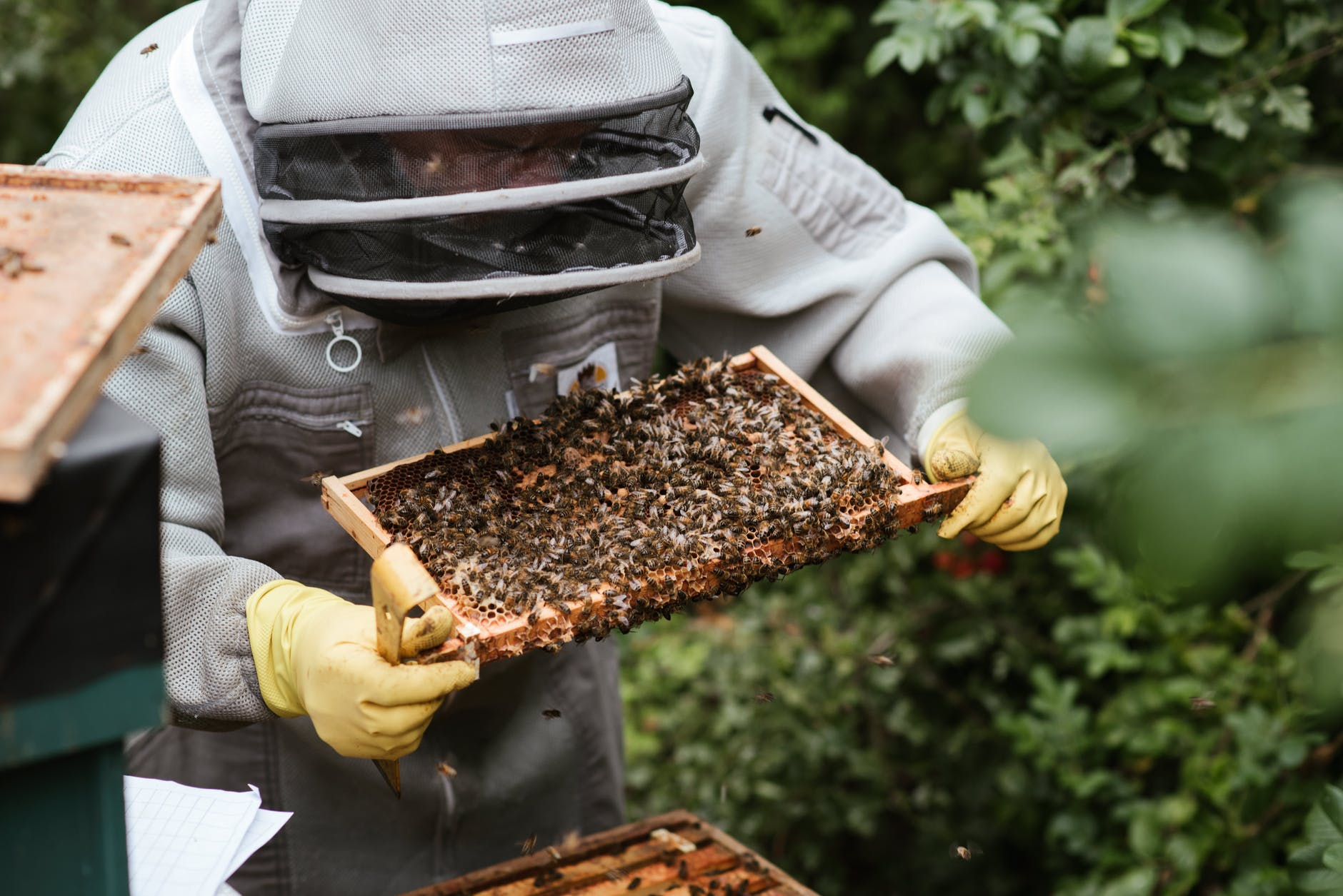 crop beekeeper considering honeycomb in apiary